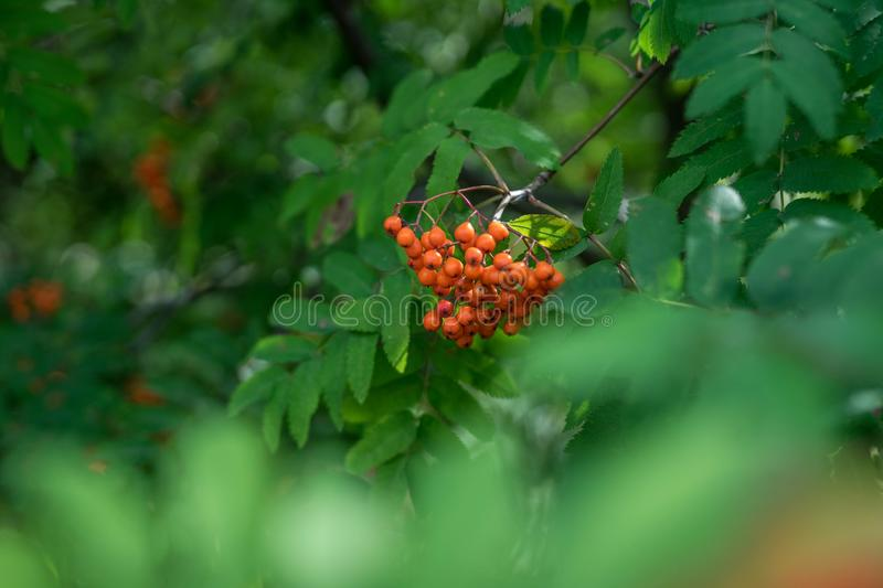 Branches of large red mountain ash. In green leaves stock images