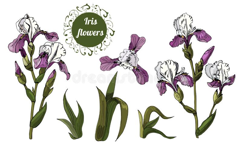 Branches and leaves of iris flowers. Hand drawn ink and colored sketch. Set of color  objects isolated on white background. Vector illustration stock illustration