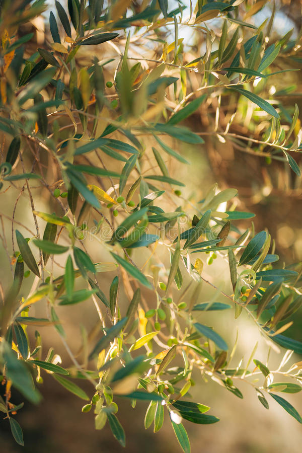 Branches and leaves of an olive tree in an olive grove. In Montenegro stock images