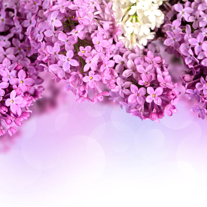 Download Branches of lilac stock photo. Image of flower, branches - 31413740