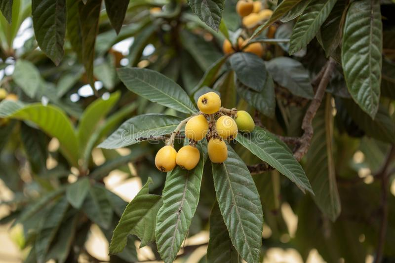 Branches of loquat, Eriobotrya japonica. With ripening yellow fruit royalty free stock photography