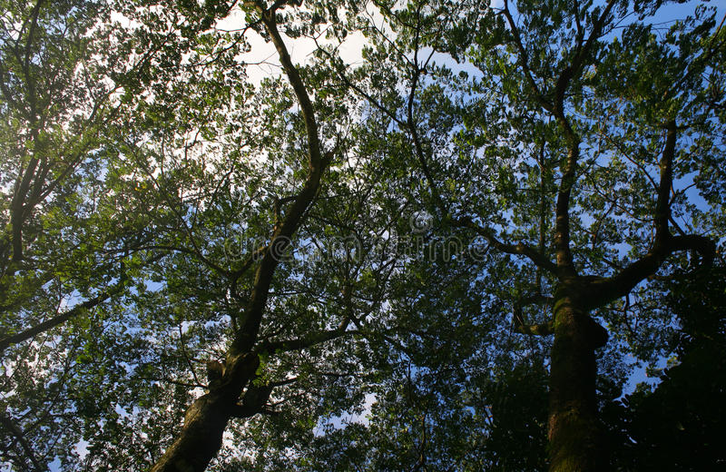 Branches from lower angle of a big old tree royalty free stock images