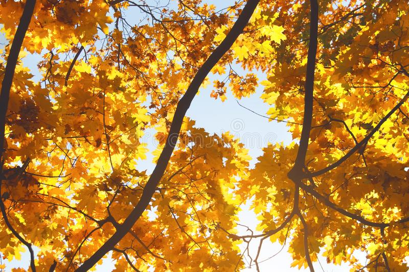 Branches of a maple tree against blue sky. Bright yellow maple leaves on the tree. Autumn background stock images