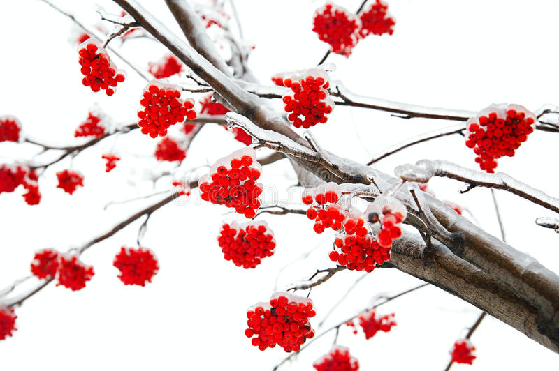 Branches of mountain ash. In the ice royalty free stock image
