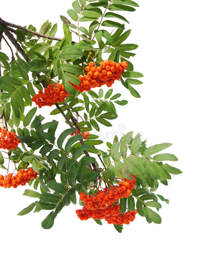 Branches of mountain ash berries. Are isolated on a white background royalty free stock images