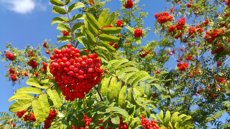 Branches of mountain ash with bright berries on blue sky. Branches of mountain ash or rowan with bright red berries against a clear blue sky background stock photo