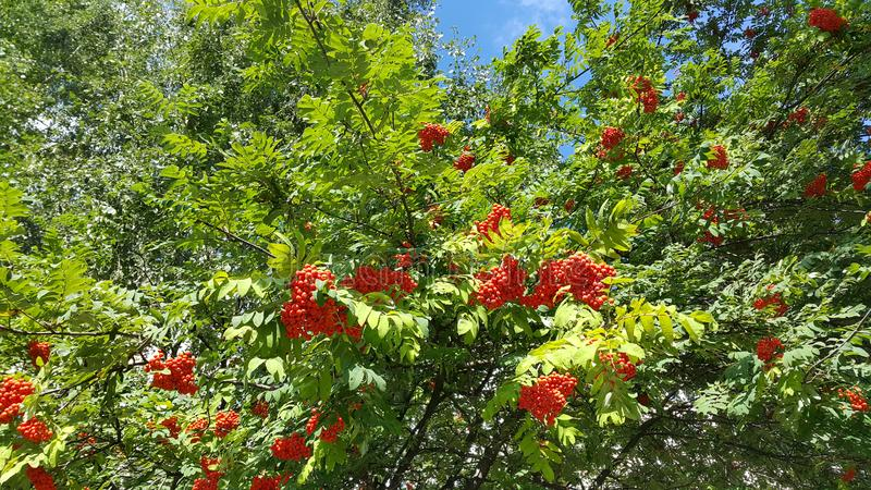 Branches of mountain ash with bright orange berries. Against blue sky background stock photography