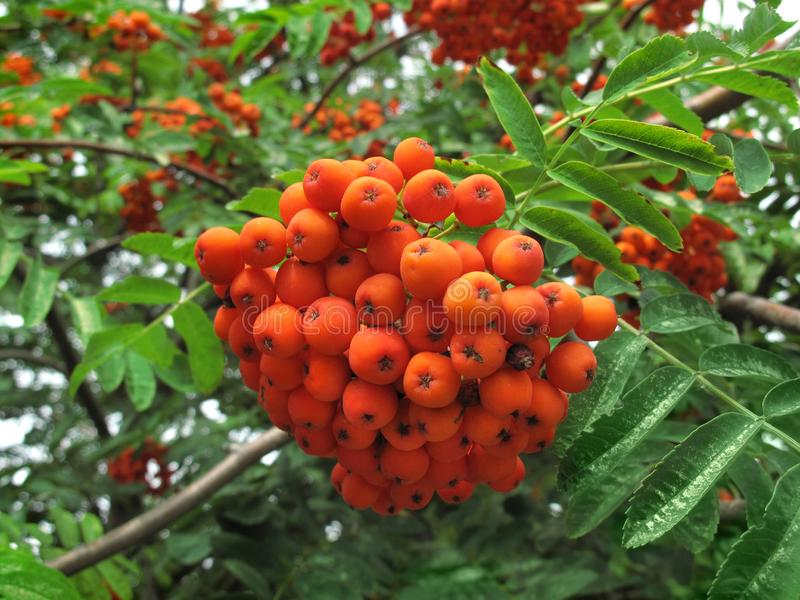 Branches of mountain ash with bright orange berries. Mountain ash. Rowan-tree. The fruits of mountain ash. Rowan berries ripen on the tree royalty free stock photos