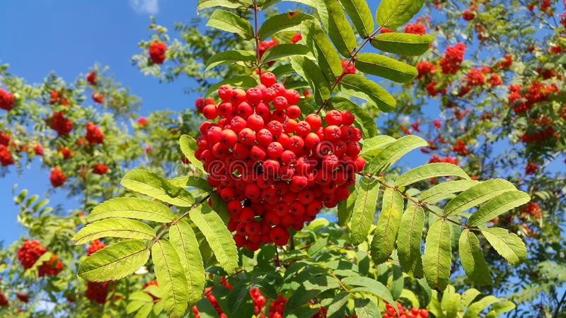 Branches of mountain ash with bright red berries. Against blue sky background royalty free stock images