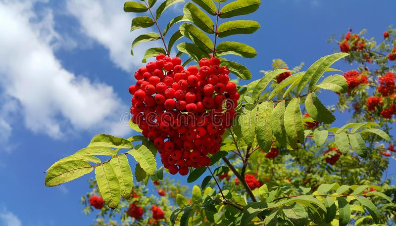 Branches of mountain ash with bright red berries. Against blue sky background stock photos
