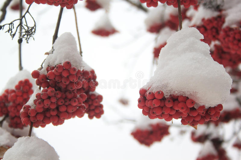 Branches mountain ash covered with snow. Beautiful winter afternoon royalty free stock photo