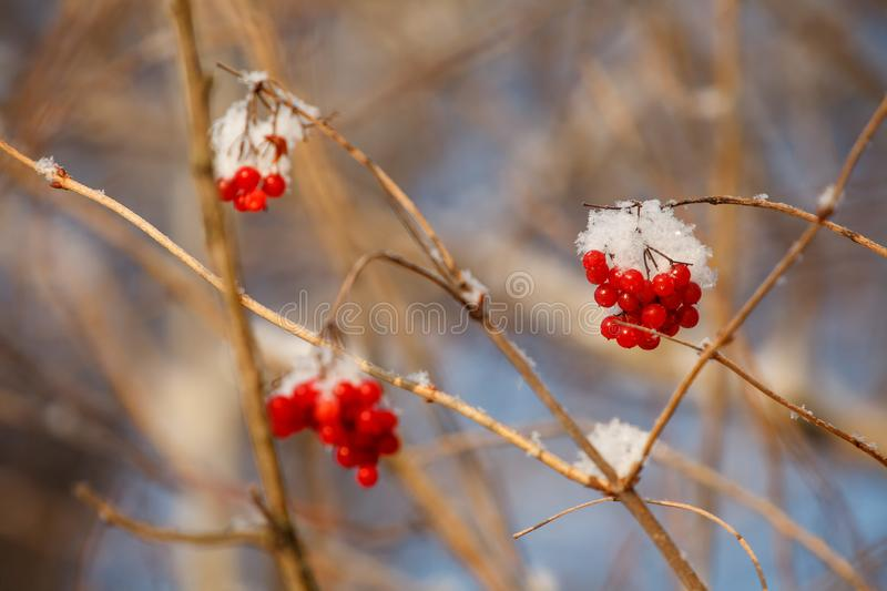 mountain ash covered with snow stock photography
