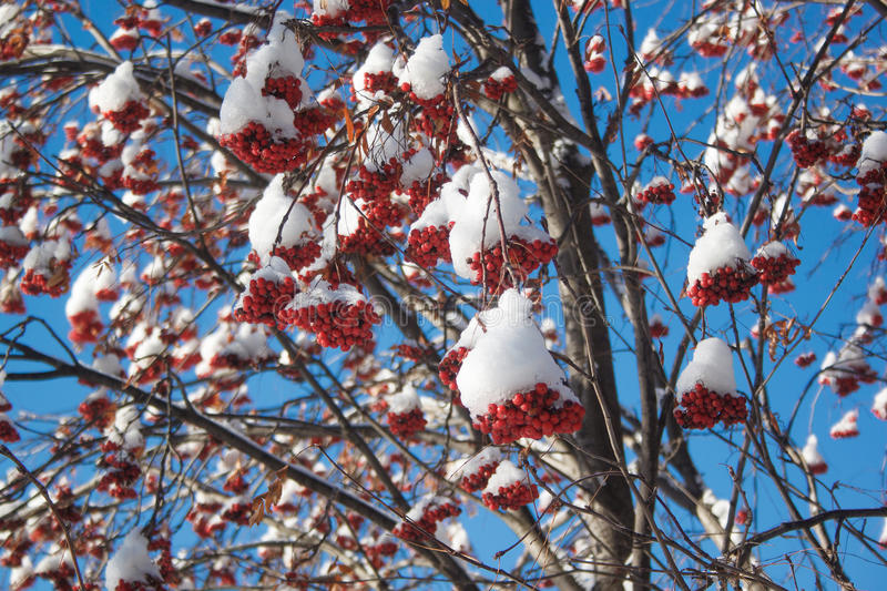 Branches mountain ash covered with snow and pieces of ice. royalty free stock images
