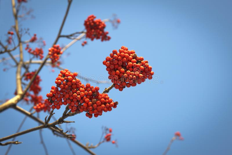 Branches of mountain ash with red berries against the blue sky. Branches of mountain ash with bright red berries against the blue sky background royalty free stock photography