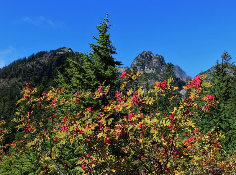 Branches of mountain ash with red berries. And fall foliage against a blue sky royalty free stock image
