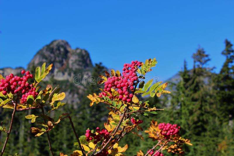 Branches of mountain ash with red berries. And fall foliage against a blue sky stock images