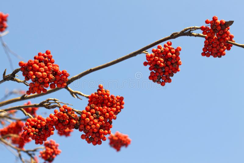 Branches of mountain ash rowan with bright red berries. Against the blue sky background stock image