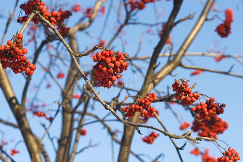 Branches of mountain ash rowan with bright red berries. Against the blue sky background royalty free stock photos
