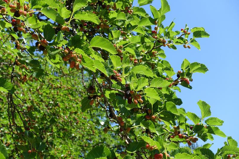 Branches of mulberry with fruits against the sky. Branches of mulberry with fruits against blue sky royalty free stock photo