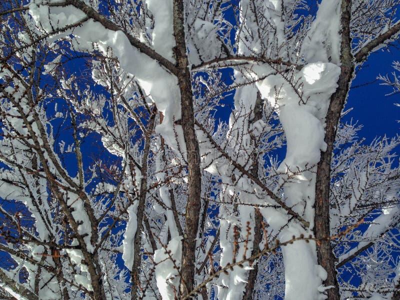 branches neigeuses contre le ciel bleu vibrant photos libres de droits