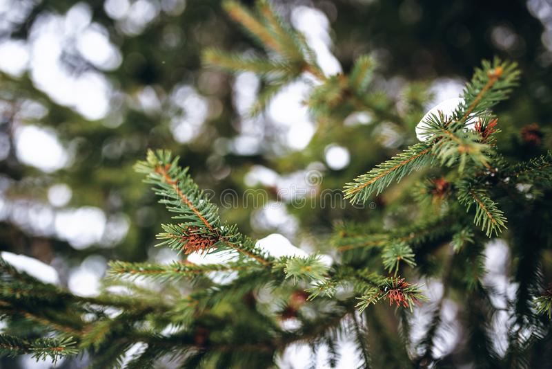 Branches neigeuses vertes de fin d'arbre de Noël  images stock