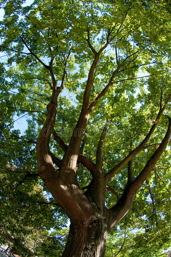 branches oaken royaltyfri bild