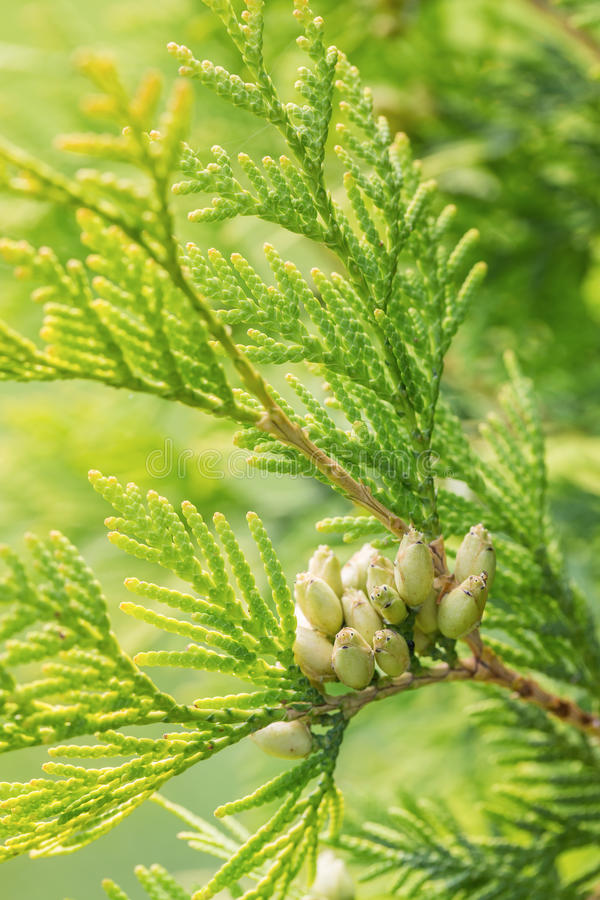 Free Branches Of Cypress Tree Stock Photography - 43187302