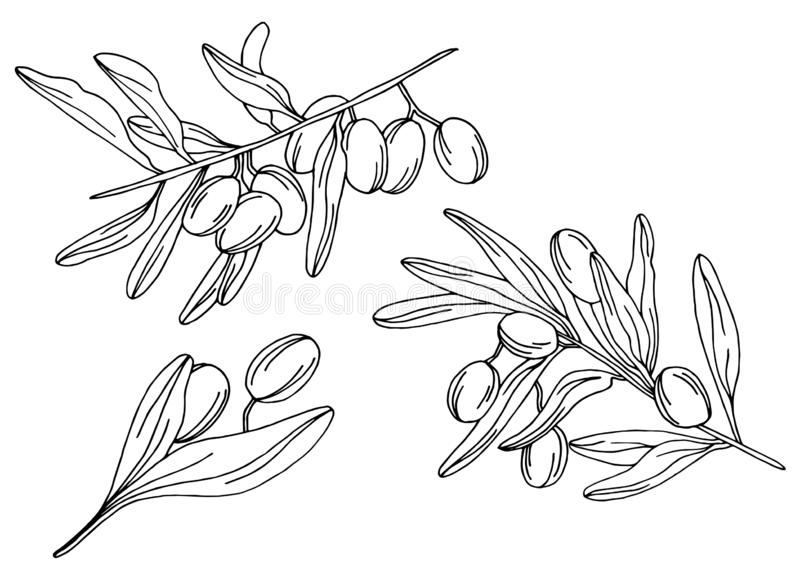 Branches of an olive tree in vector royalty free illustration