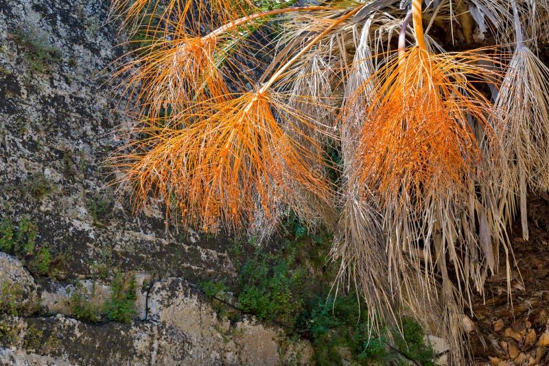 Branches pelucheuses et vieilles d'un palmier photographie stock