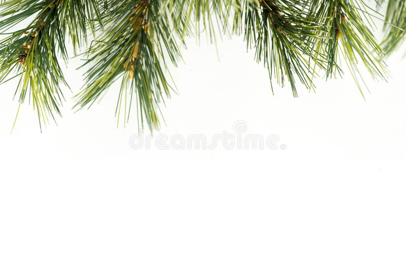 Branches of pine tree or spruce stock image