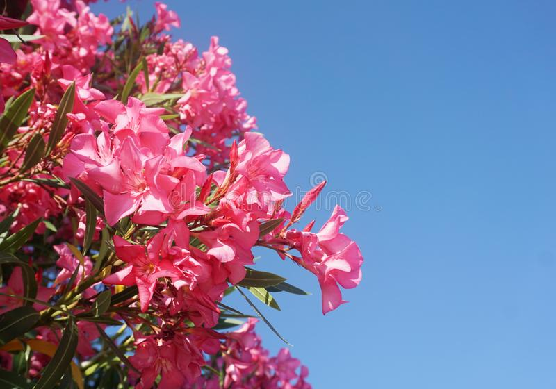 Branches of pink oleander in front of a clear blue sky background royalty free stock photo