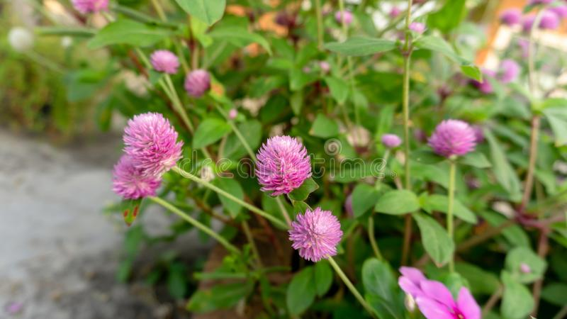 Branches of pink petals of Pearly everlasting flower blossom on greenery leaves blurry background, know as Bachelor`s button. Globe amaranth, Button agaga stock photo