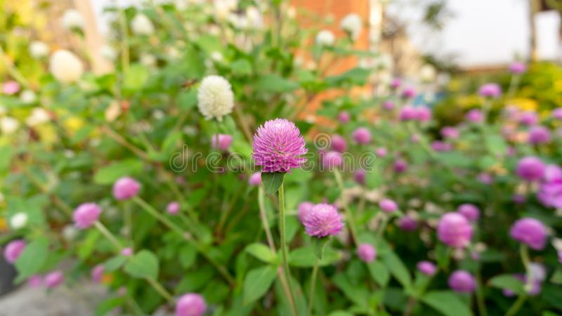 Branches of pink and white petals of Pearly everlasting blossom on greenery leaves blurry background, know as Bachelor`s button. Branches of pink petals of stock image