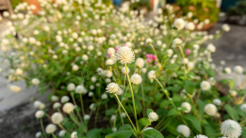 Branches of pink and white petals of Pearly everlasting flower blossom on greenery leaves blurry background. Know as Bachelor`s button, Globe amaranth, Button stock photography