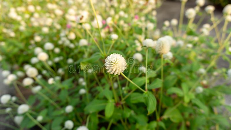 Branches of pink and white petals of Pearly everlasting flower blossom on greenery leaves blurry background. Know as Bachelor`s button, Globe amaranth, Button royalty free stock images