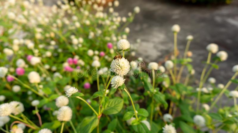 Branches of pink and white petals of Pearly everlasting flower blossom on greenery leaves blurry background. Know as Bachelor`s button, Globe amaranth, Button stock photos