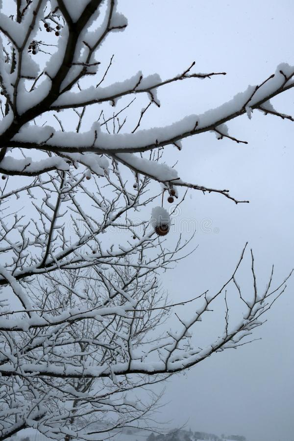 Branches of a plane tree covered in snow in winter. stock photos
