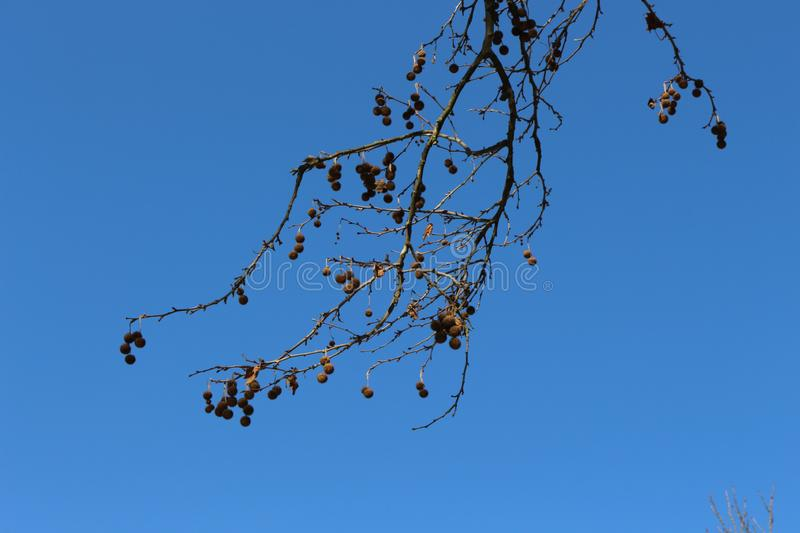 The branches of the plane tree with the fruits look spectacular against the blue spring sky royalty free stock image