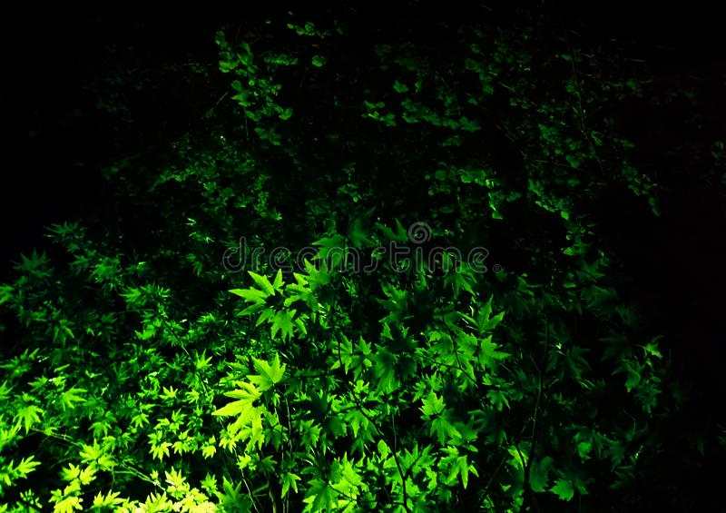 Branches of the plane tree in the light royalty free stock photo