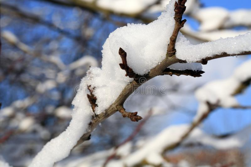Branches plum tree under snow with sunlight. royalty free stock photography