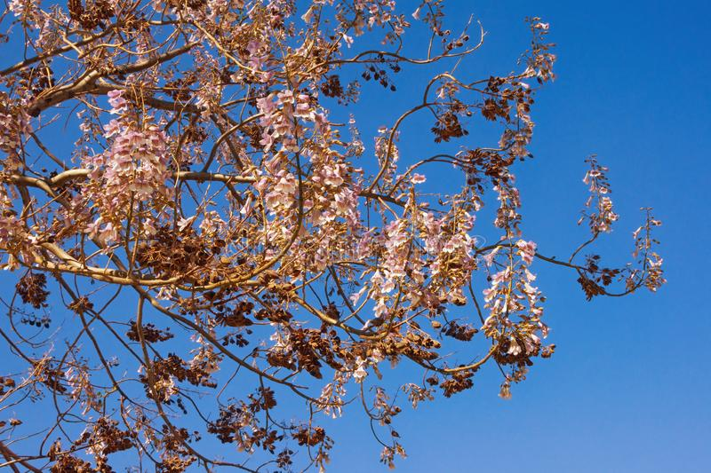 Branches of  Princess tree   Paulownia tomentosa  with flowers and seeds against blue sky on sunny spring day stock images