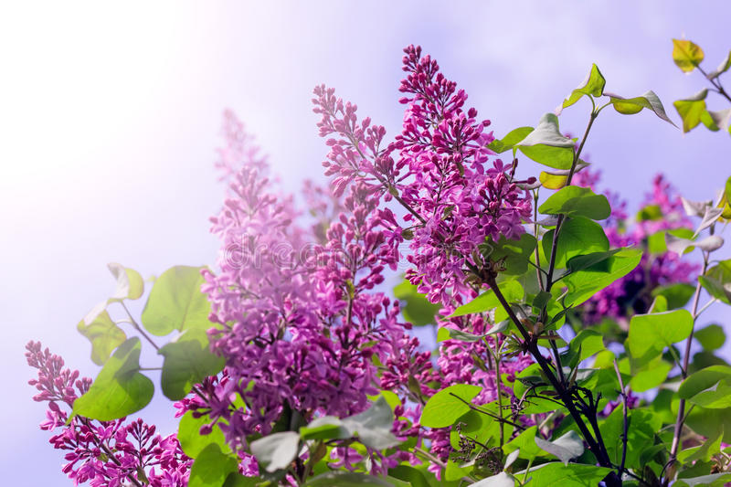 Branches of purple lilacs bushes on sunny day royalty free stock photography