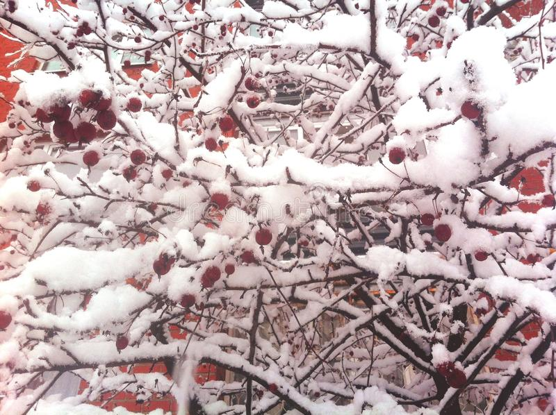 Branches with red apples covered with snow. Winter scene. Branches with small red apples covered with snow. Winter scene royalty free illustration