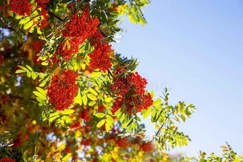 Branches of red mountain ash with leaves. In autumn stock photo