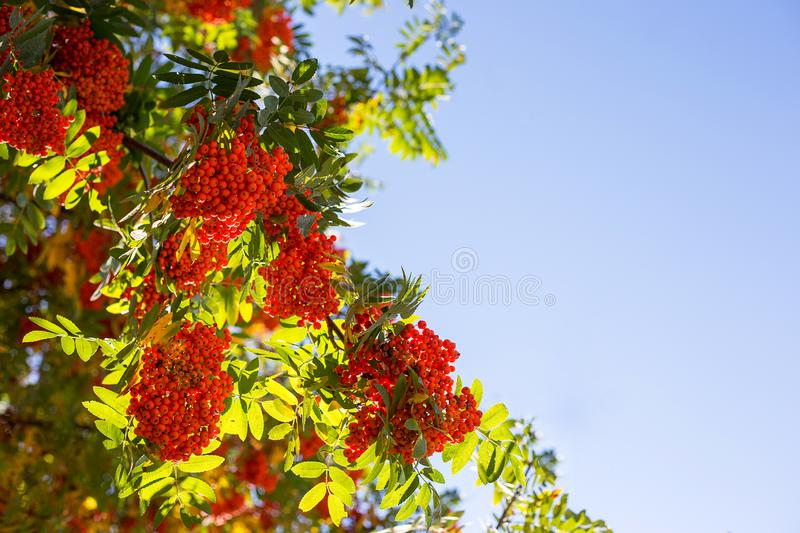 Branches of red mountain ash with leaves. In autumn royalty free stock photography