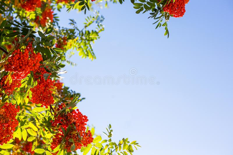 Branches of red mountain ash with leaves. In autumn stock image