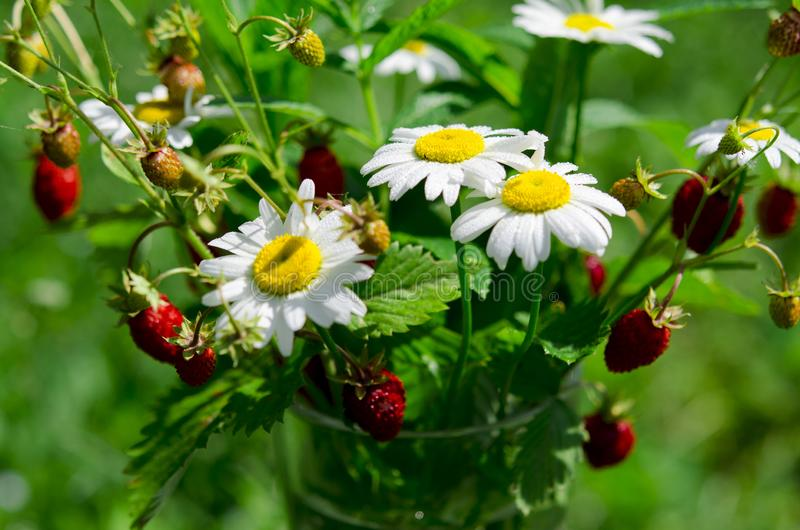 Branches of red ripe strawberries, white daisies and mint leaves stand in a glass of water on a wooden stump. Against the background of green grass, berry stock photography