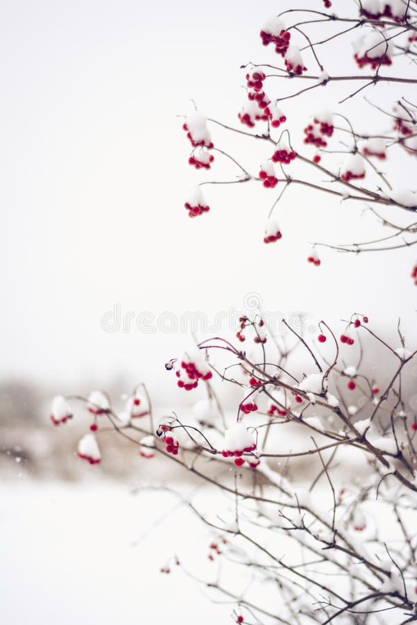 Branches of red viburnum opulus berries covered in snow royalty free stock photo