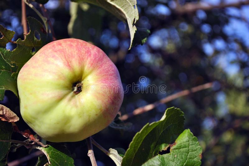 Branches with ripe green pink apple, leaves and sky blurry background, sunny day. In Ukraine stock image