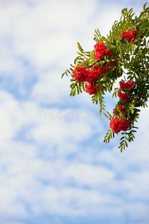 Branches of a ripe mountain ash. Branches of ripe mountain ash royalty free stock photography